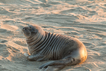 Cute Young Elephant Seal