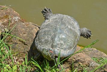 tartaruga acquatica riposa sotto il sole