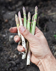 Shoots of asparagus in man's hand.