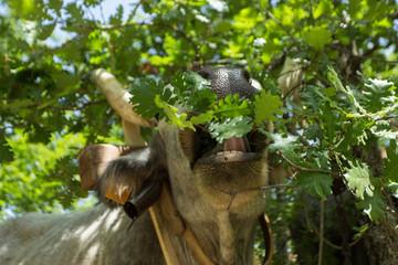 mucca mangia erbivoro