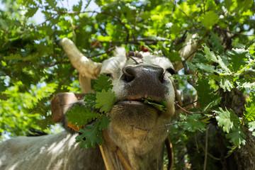 mucca toro erbivoro