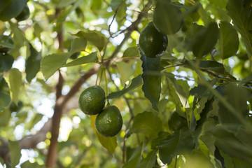 Avocado growing on tree