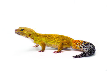 Male leopard gecko on white background