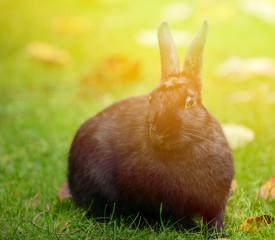Black rabbit portrait