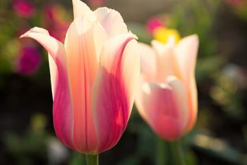 Tender pink tulips