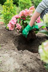 Ein Mann pflanzt Hortensien ein