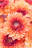 Closeup of vibrant auburn Chrysanthemums bouquet on white poster