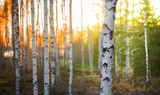 Birch tree at sunset