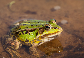 Head of green water frog (Rana lessonae), close up