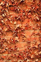 Red brick wall background and dry ivy leaves plants