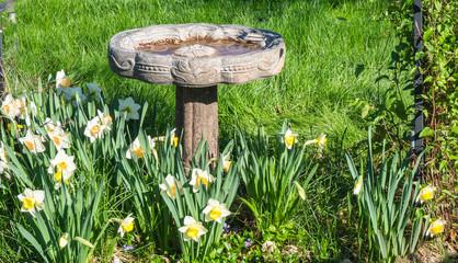 stone, birdbath in garden with daffodils