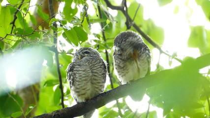 Behavior of owls after rain. slow motion.