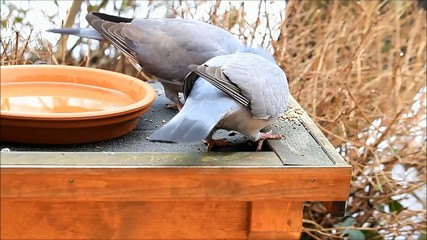 two doves feeding, wood pigeon, winter