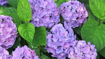 雨とアジサイの花