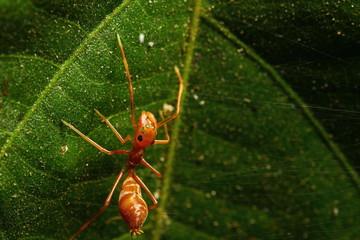 Kerengga ant-like