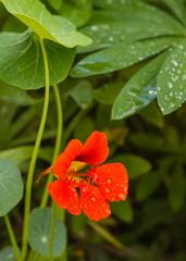 Bright nasturtium flower