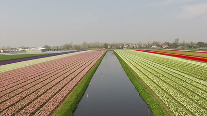 Blossoming tulip fields in the countryside from the Netherlands