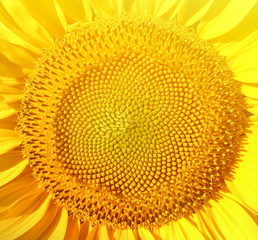 Sunflower macro shot