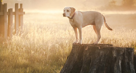 cute yellow Labrador backlit by the early morning sun