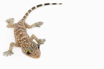 gecko on white background