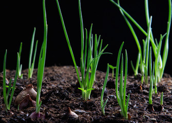 red onion planting growing on agriculture field