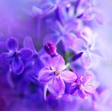 Fototapeta Beautiful violet lilac flower closeup