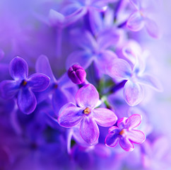 Beautiful violet lilac flower closeup