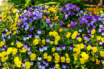 Yellow and Purple Pansies in Formal Garden