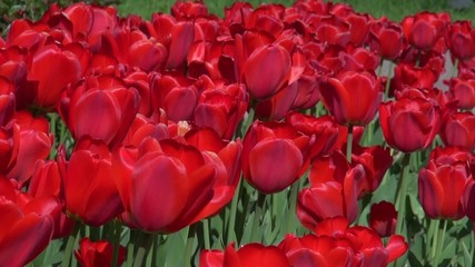 Group of red tulips in the park. Natural background