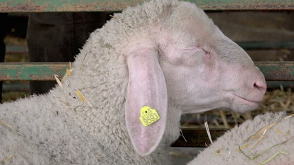 Sheep in a Barn on the Breeding Farm