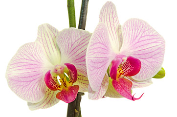 Pink orchid  flower, Orchidaceae, Phalaenopsis, Moth Orchid.