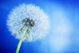 Fototapeta Close-up of dandelion on blue sky background. Spring