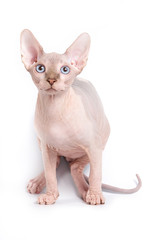 Sphinx kitten standing and looking at the camera