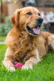 Happy golden retriever lying on the grass with her favorite toy - 83361389