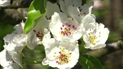 Pear blossoms (Pyrus communis)