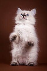 Siberian Kitten standing on hind legs and looking up