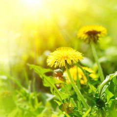 Dandelion flowers growing on spring field