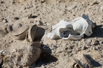 sheep skull and bones on the ground