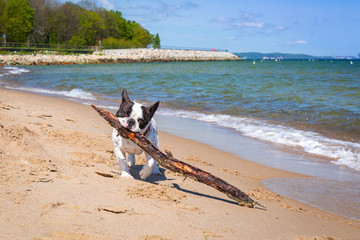 French bulldog on the beach of Baltic sea