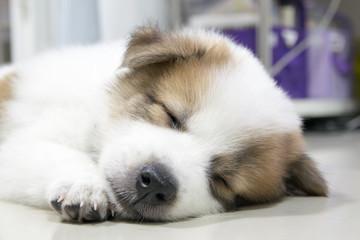 close up cute Thai Bangkaew sleeping puppy