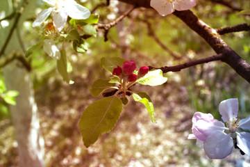 Buds of apple tree