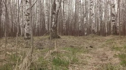 slow motion walking out of birch forest from field in early