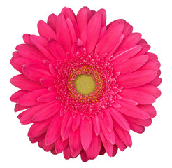 pink gerbera flower isolated on the white background