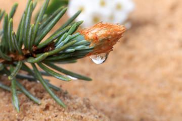 Gałązka świerka z kroplą wody na piasku.