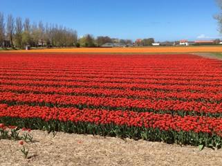 Red Tulip Culture