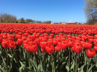 Red Tulip Culture, Holland