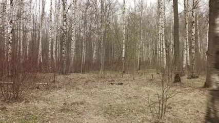 walking inside birch forest in early spring, stabilized smooth