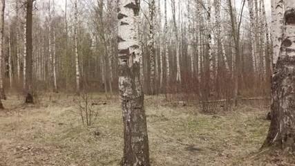 slow motion walking inside birch forest in early spring