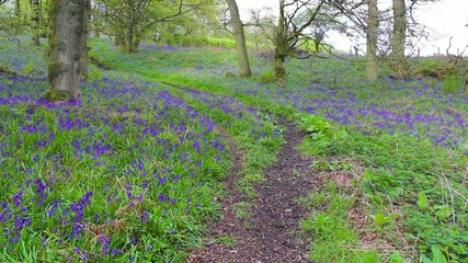 Beautiful Spring bluebell forest, footage.