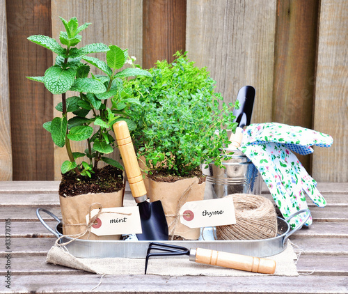 Herb garden. Mint and thyme with garderning tools.